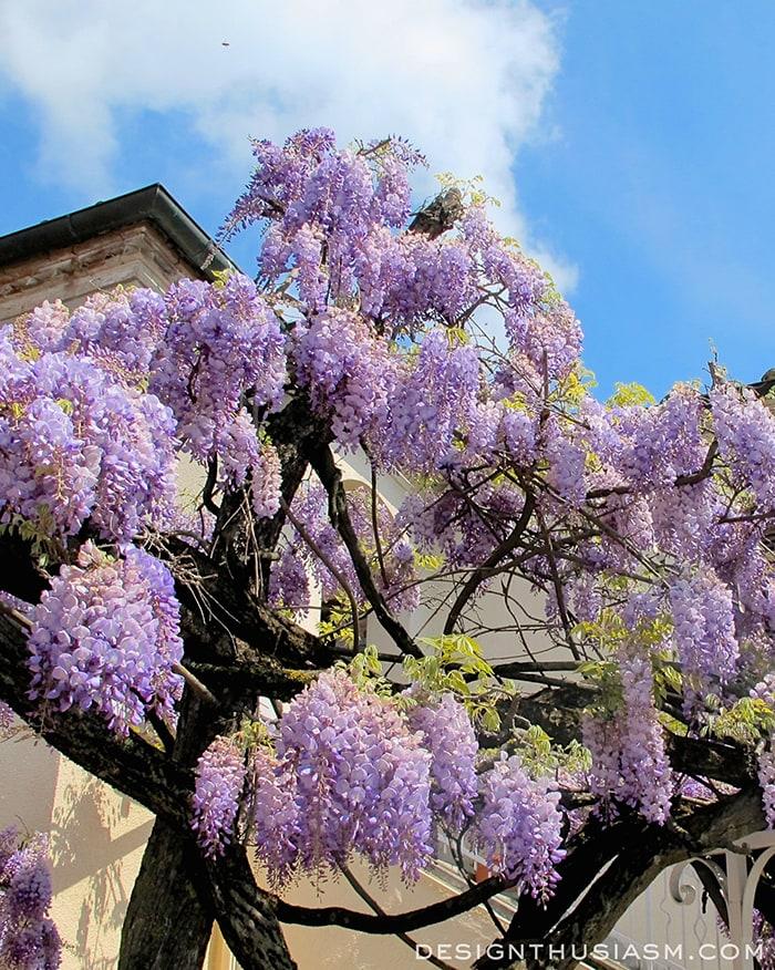 Pienza wisteria