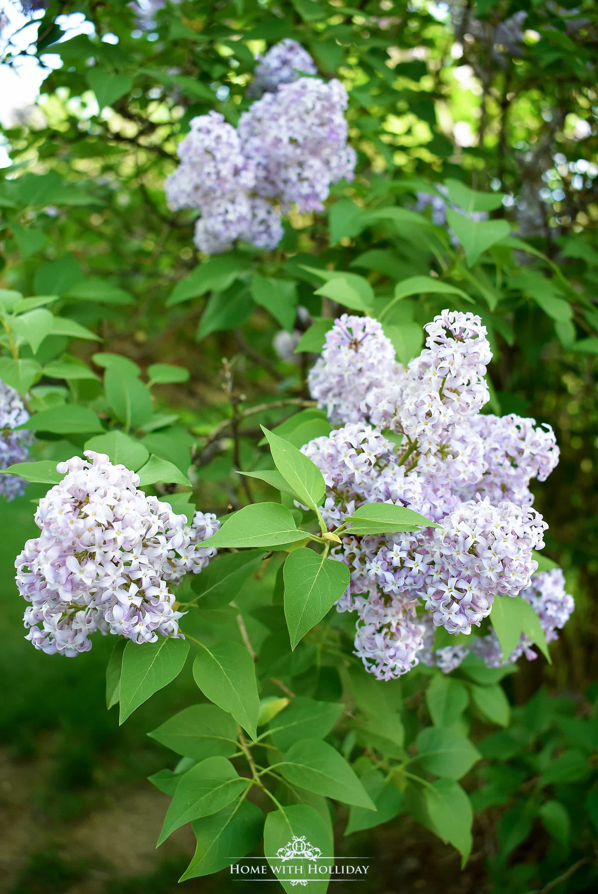 Pruning and Enjoying Lilacs - Home with Holliday