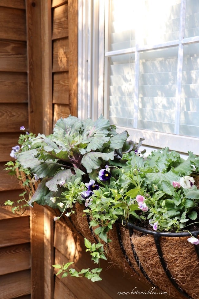 18 Fall Windowbox Metal Basket Flowers Purple Kale Pansy Ivy