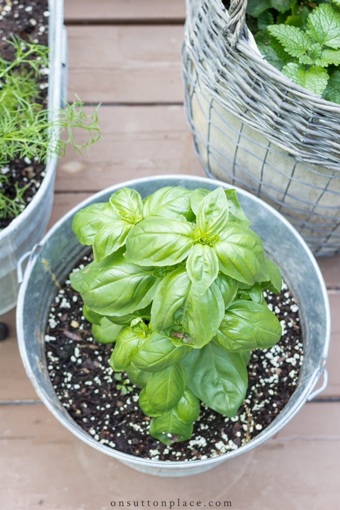 All About Basil from On Sutton Place