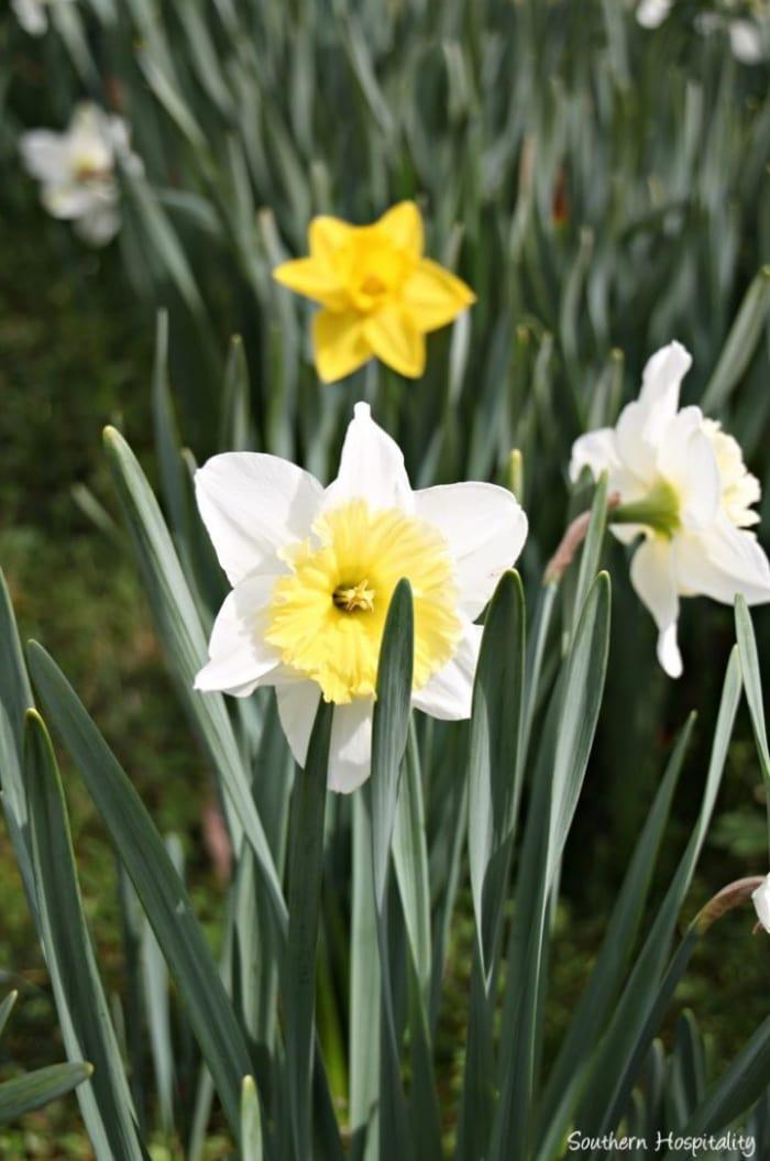 daffodil garden show