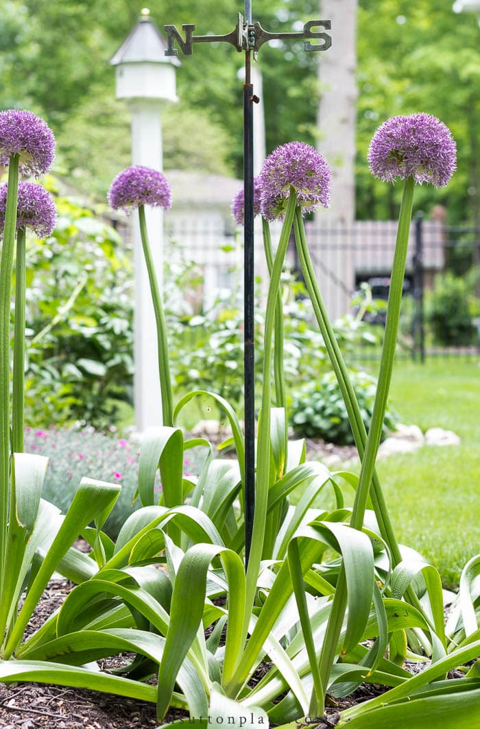 Growing Peonies & Allium from On Sutton Place